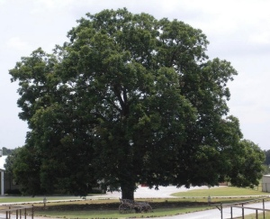 The pecan tree where animal ashes are spread.